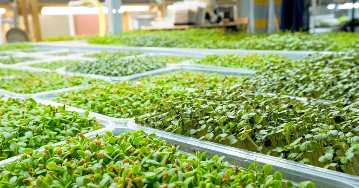 Benefits of Growing Microgreens