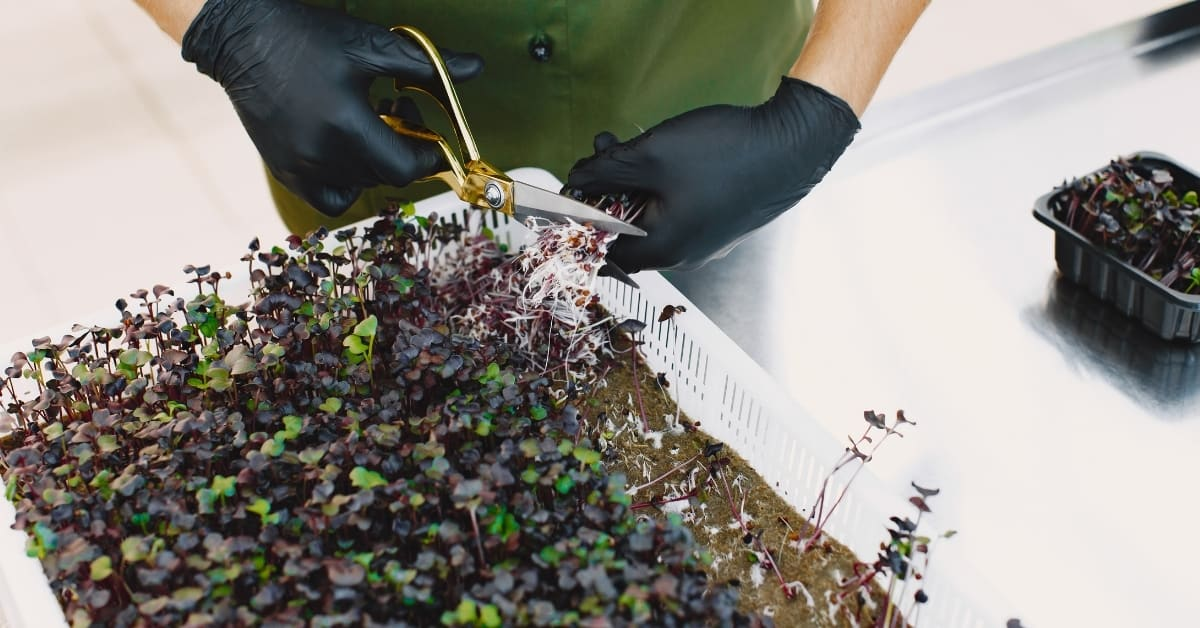 Will Microgreens Grow Back After Cutting