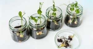 GMO plants in biological laboratory