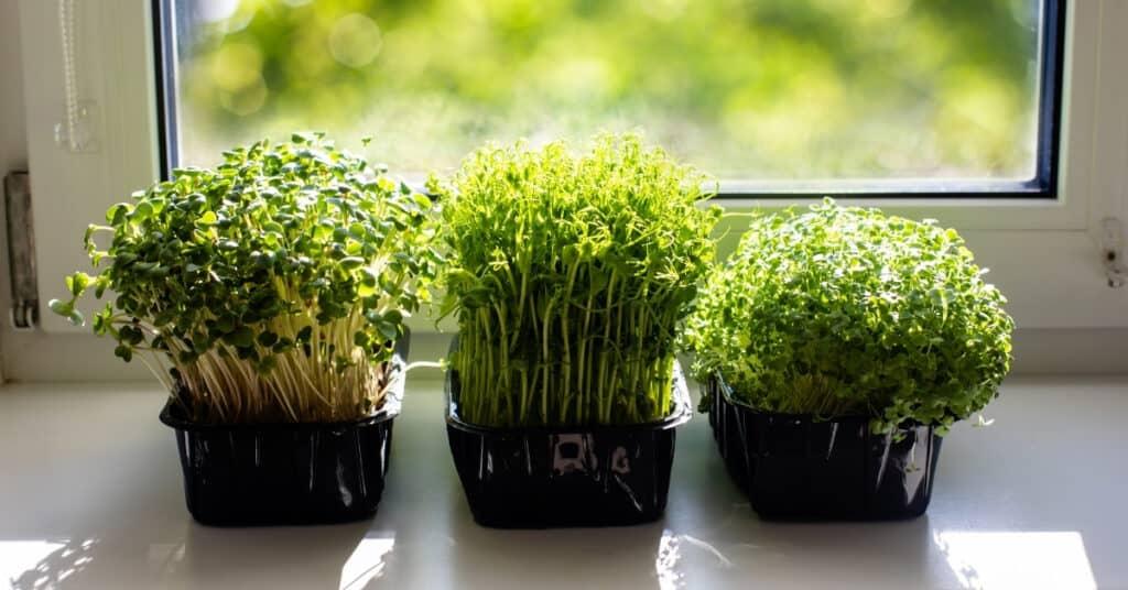 Indoor Microgreens on the Kitchen Windowsill
