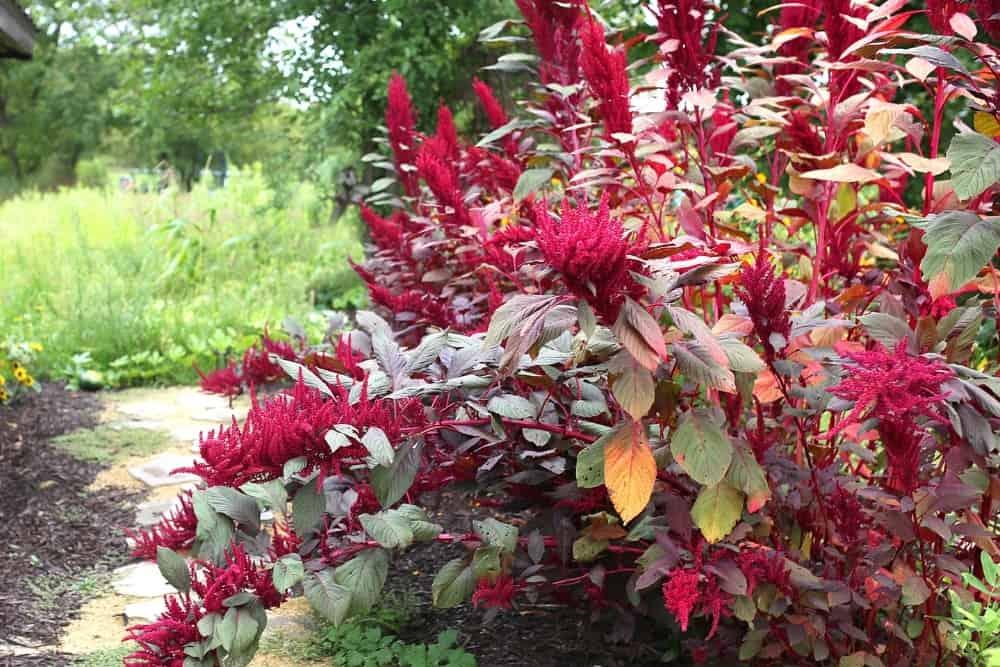 Large Red Garnet Amaranth Ancient Seed Plant
