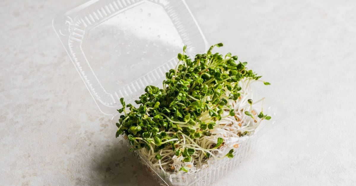 Microgreen. radish sprouts in plastic containers