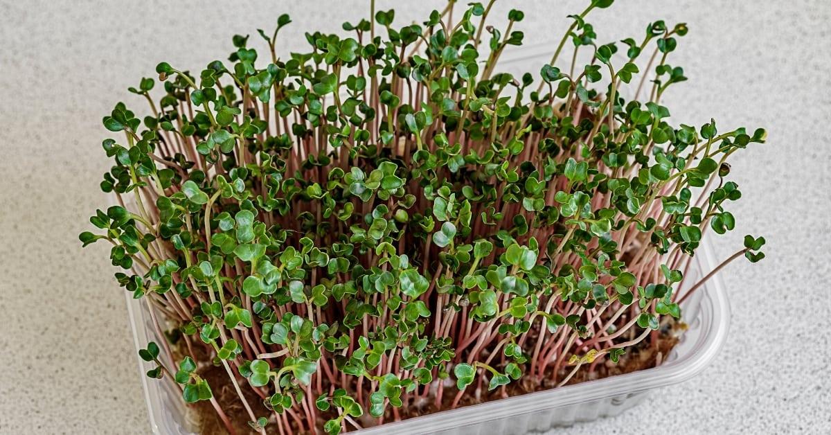 can microgreens grow into full plants