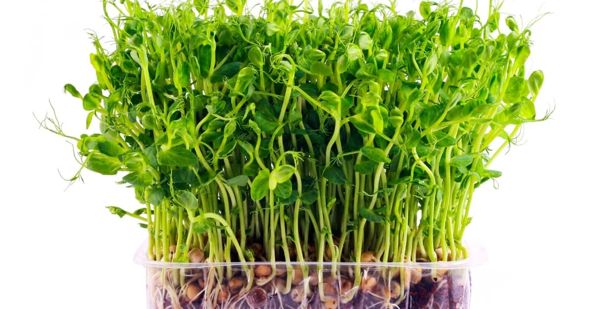 Sprouts of peas vegetable, microgreen