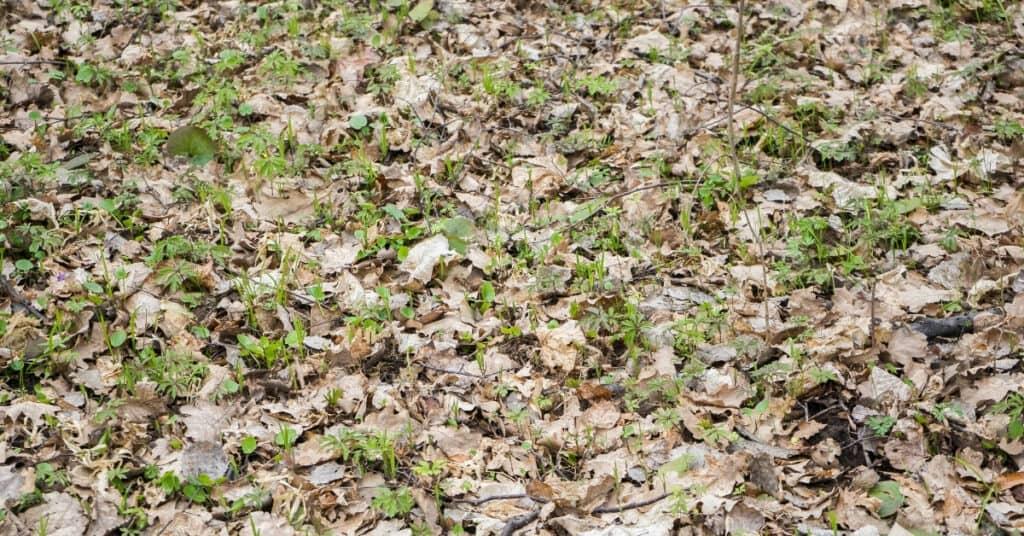 dehydrating microgreens