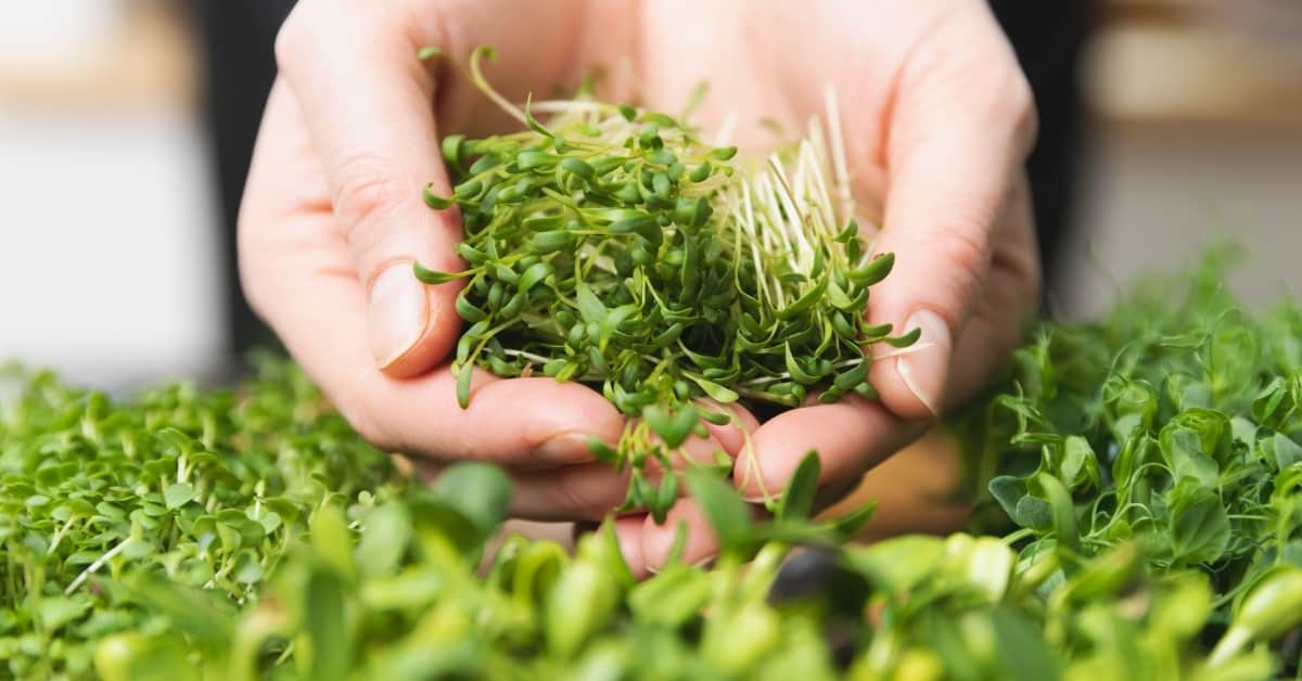 Cutted Microgreen Pea Sprouts
