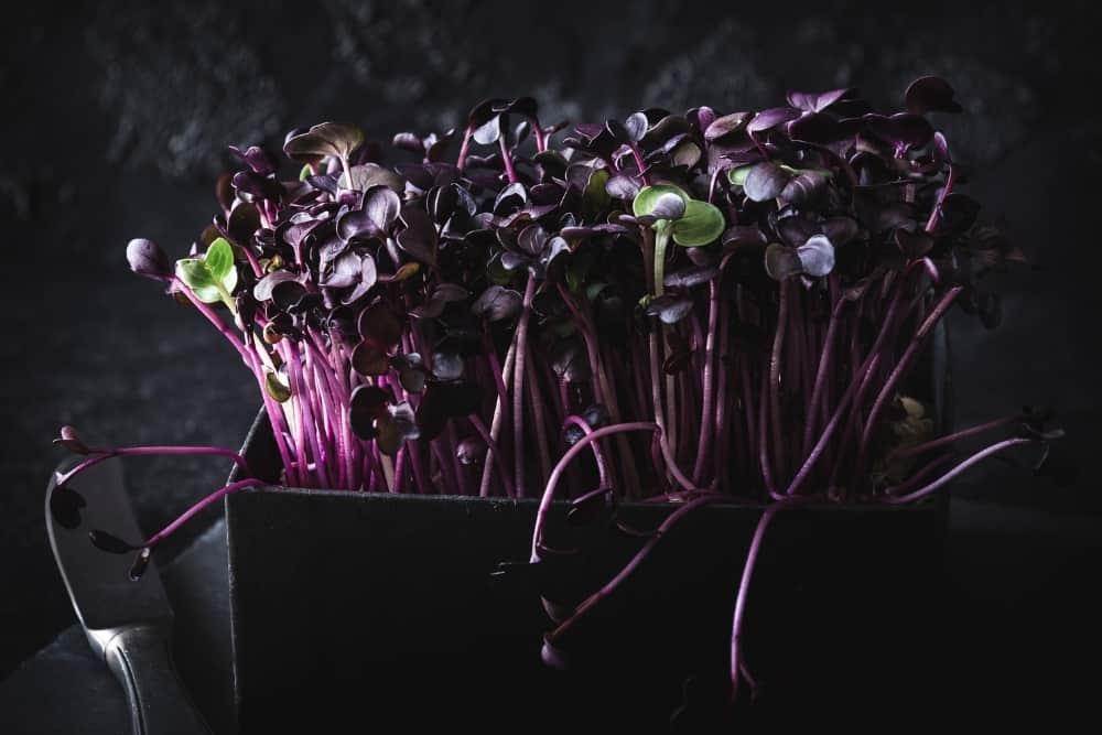 Purple peppercress in a black box